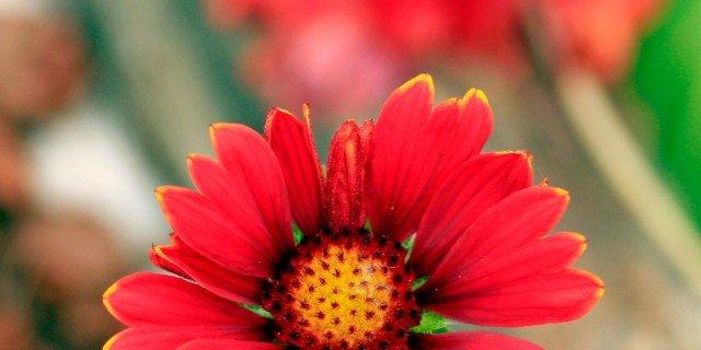 """Gaillardia x grandiflora """"Burgunder"""""""