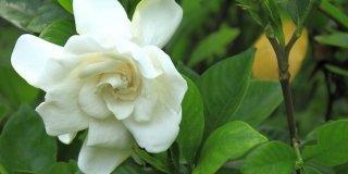 Moltiplicare la gardenia in vaso