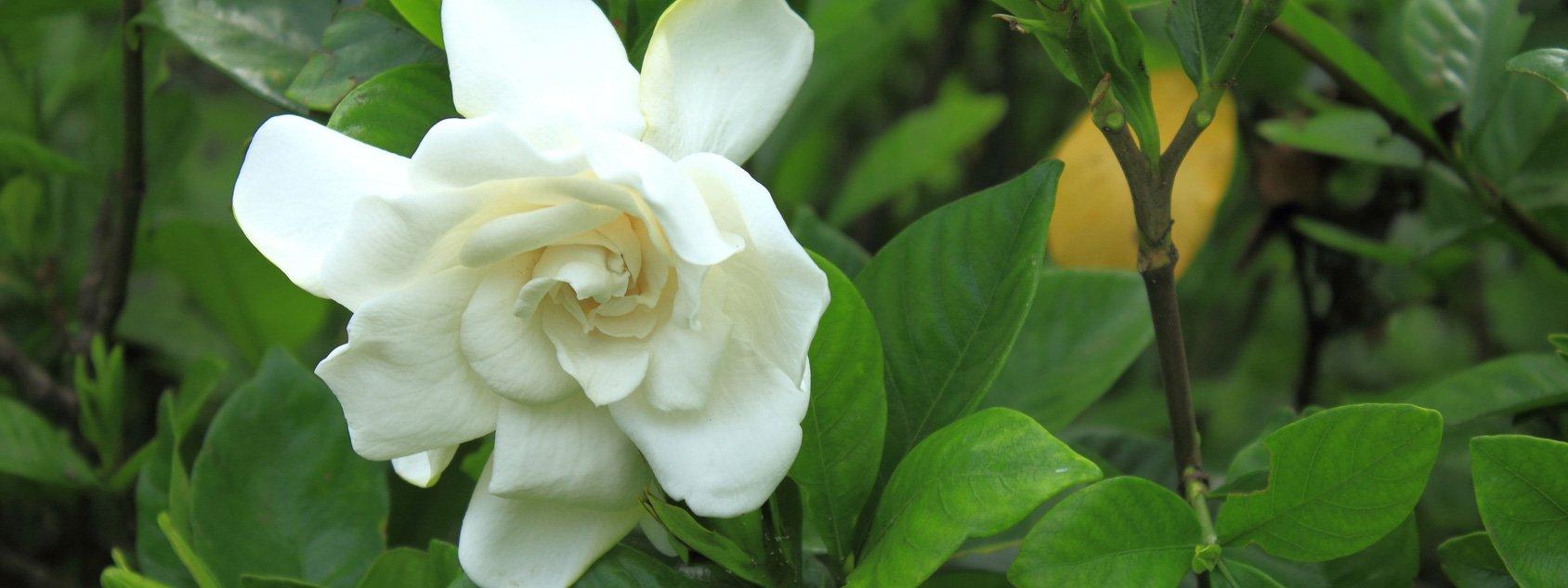 La gardenia sta per rifiorire come aiutarla cose di casa - Gardenia pianta da giardino ...