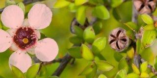 leptospermum fiori rosa