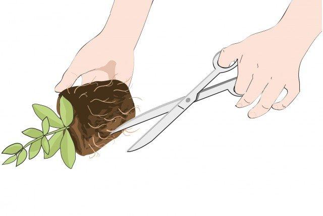 1- Estrarre le piante capovolgendo il vasetto, le radici che fuoriescono dal pane di terra vanno pareggiate con un colpo di forbice. Quest'operazione stimola la crescita di nuove radici nel terreno.