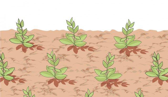 3 - Distanziare di 25 cm, tra loro, le piantine. Se poste su più file distanziarle di 15 - 20 cm.