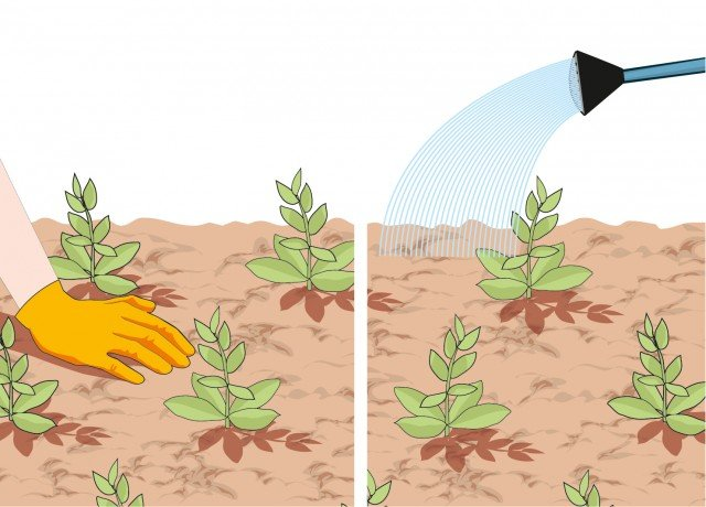 4- Pressare con le mani il terreno tutt'intorno alla pianta per evitare che si formino sacche di aria. Annaffiare abbondantemente.