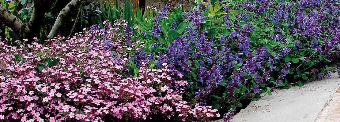 Le piante tappezzanti che fioriscono nelle zone difficili - Piante tappezzanti ...