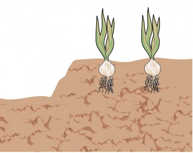 3.In terreni pesanti con difficile drenaggio, è conveniente creare, al momento dell'impianto, aiuole sopraelevate. Questo permette un drenaggio migliore.