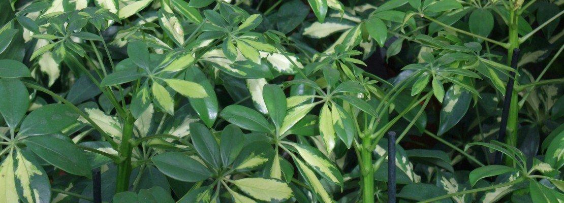 Pianta Verde Da Appartamento Con Fiore Bianco ~ duylinh for