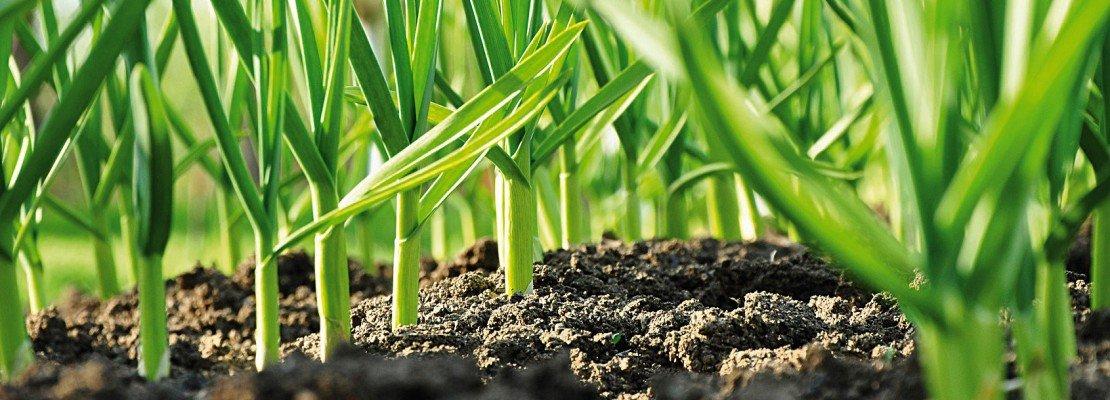 Piantare l aglio nell orto cose di casa for Cosa piantare nell orto adesso