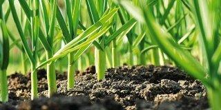 Piantare l'aglio nell'orto