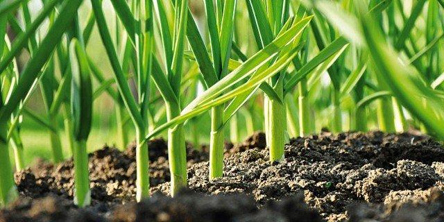 piantare l aglio nell orto cose di casa