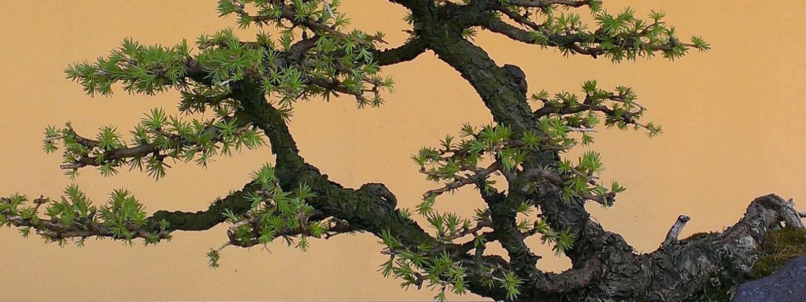 Bonsai i migliori vivai dove acquistarli cose di casa for Dove comprare bonsai