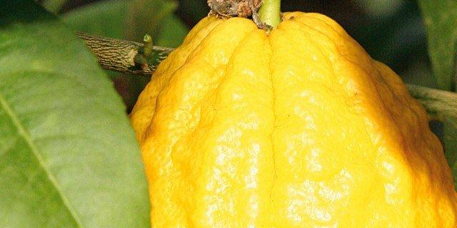 "Citrus Medica ""Etrog"" – Cedro varietà Etrog"