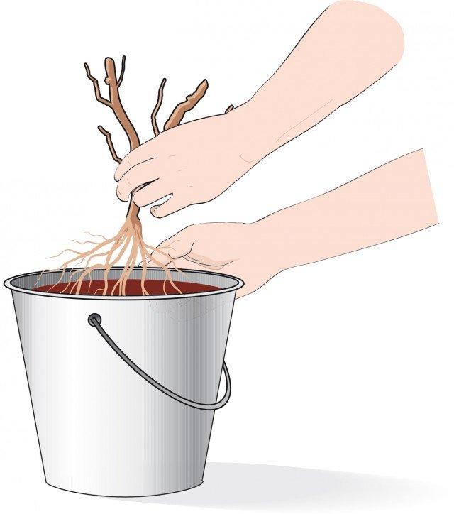 1. Immergere le radici per almeno un'ora in un secchio contenente acqua terra e stallatico: questa operazione serve a reidratare le radici.