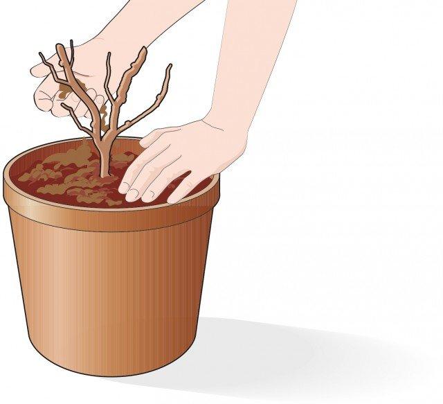 3. Inserire la rosa all'interno del contenitore in modo che il punto d'innesto sia interrato per una profondità di 2-3 cm
