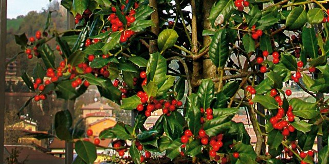 Giardino aiuole e green arredamento cose di casa for Bacche rosse nomi