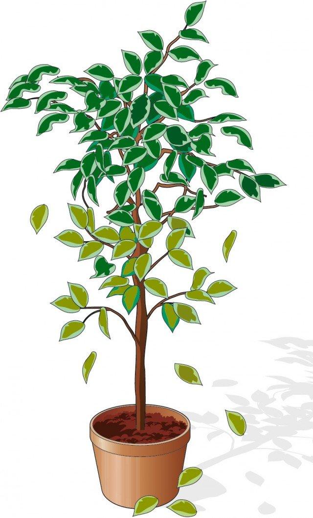 Se Il Ficus Perde Le Foglie Cose Di Casa