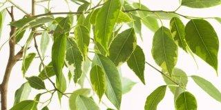 Se il Ficus perde le foglie