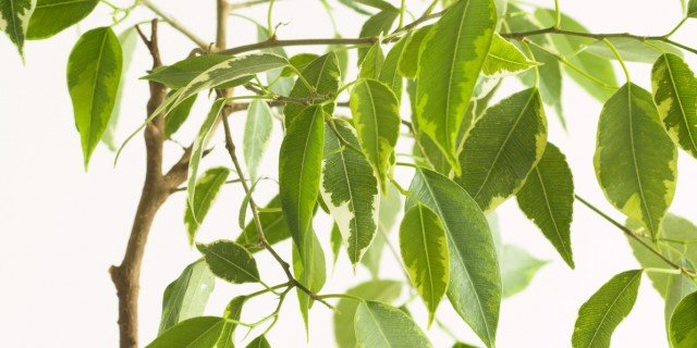 Se il ficus perde le foglie cose di casa for Ficus benjamin perde foglie