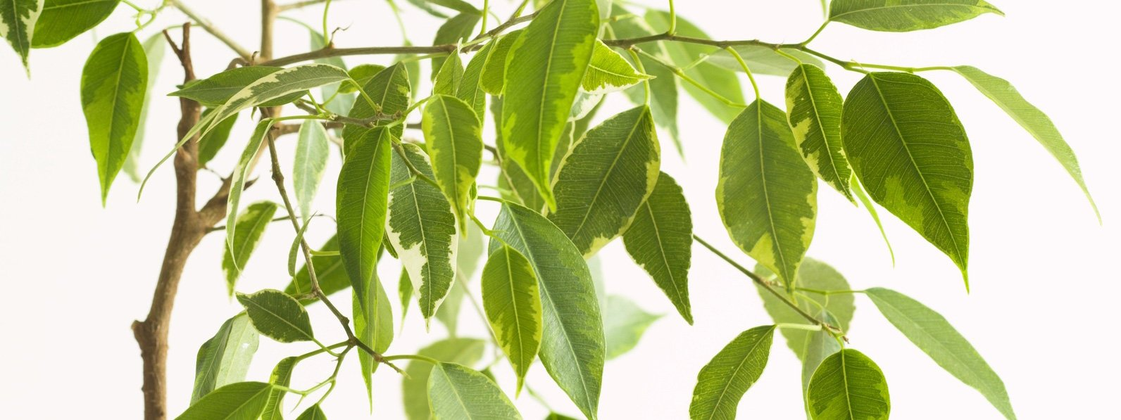 Ficus Benjamin Perde Foglie se il ficus perde le foglie: cure, controllo cocciniglia
