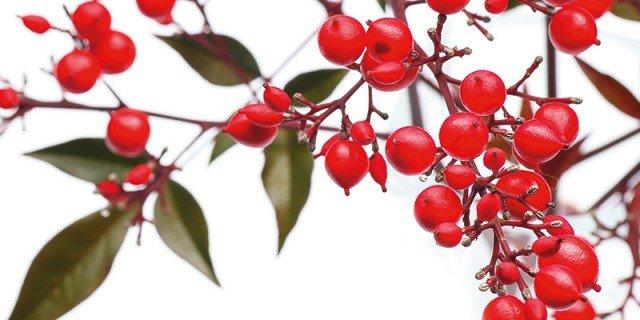 Arbusti in vaso con le bacche rosse cose di casa for Bacche rosse nomi