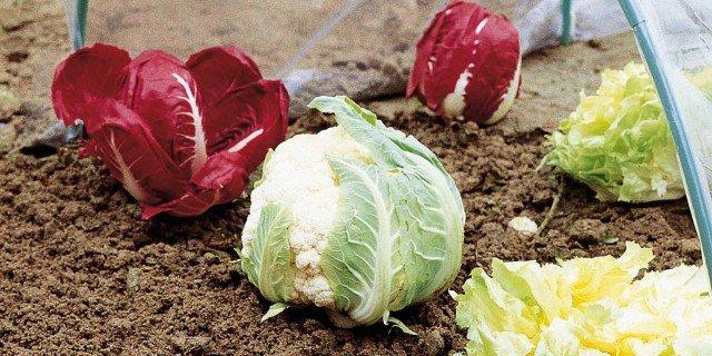 Gli ortaggi che crescono adesso nel tunnel