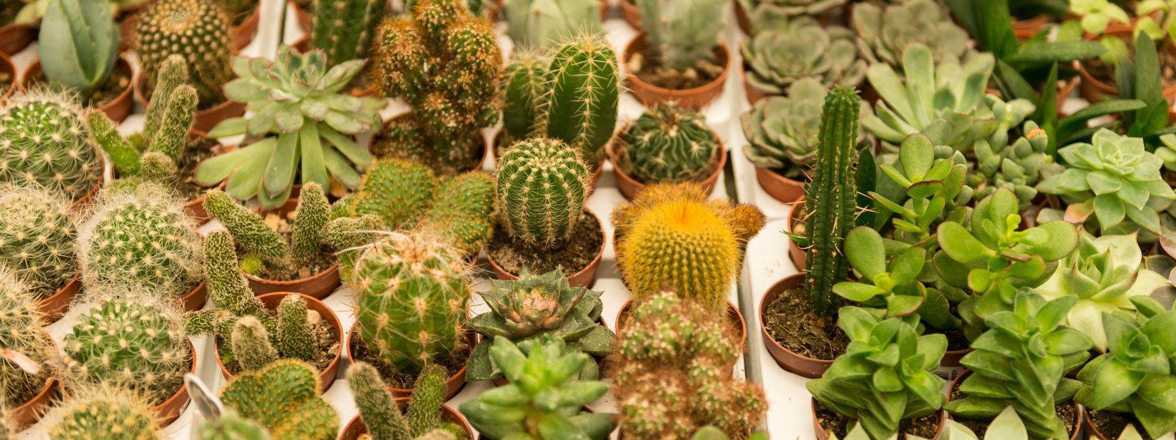 Piante Strane Da Appartamento piante grasse minuscole: come curarle - cose di casa