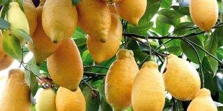 limone lunario Citrus limon