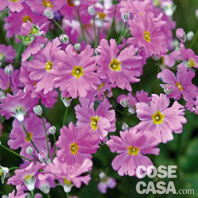primule in casa, in balcone e in giardino - cose di casa - Primula Arredo Bagno