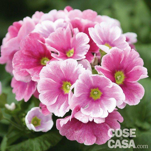 Primule in casa in balcone e in giardino cose di casa for Primule da colorare
