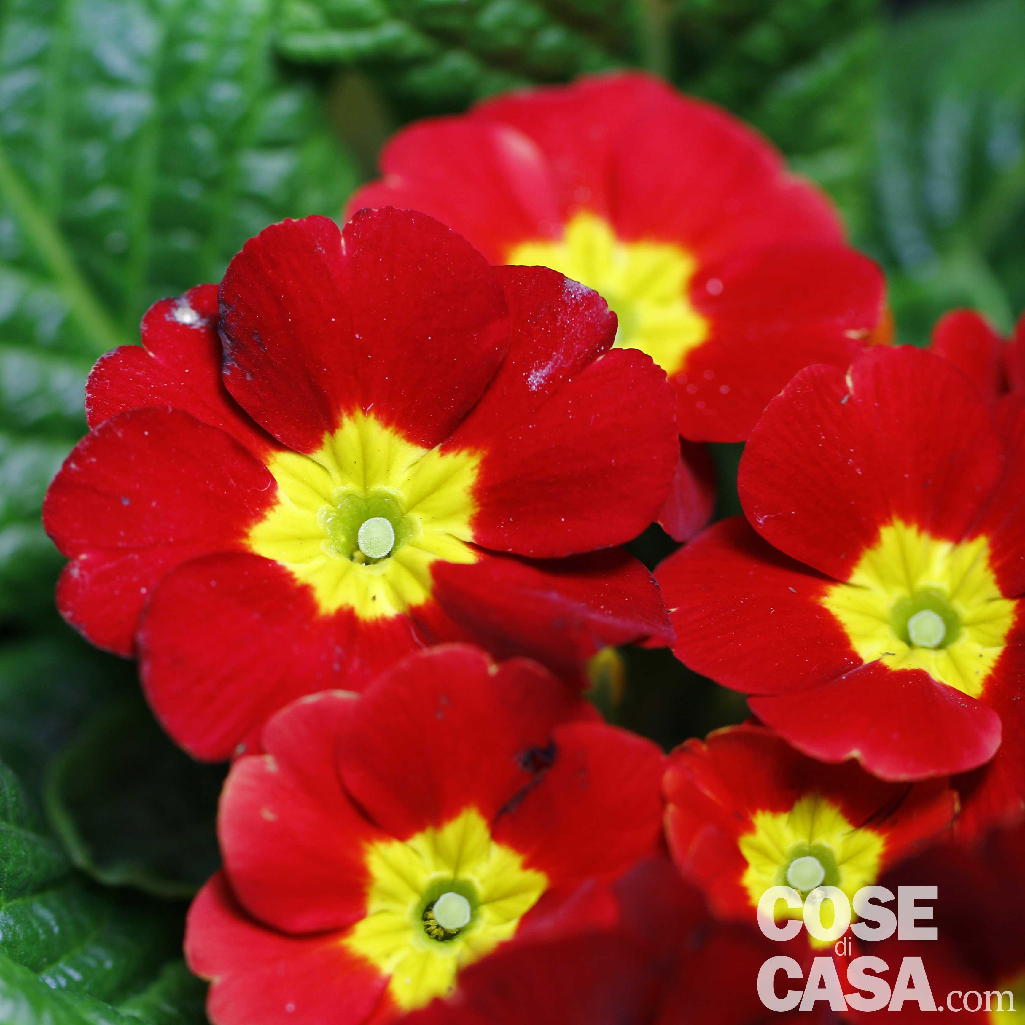 Piante In Casa : Primule in casa balcone e giardino cose di