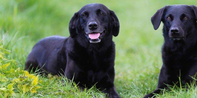 Due cani in casa: regole per una convivenza serena