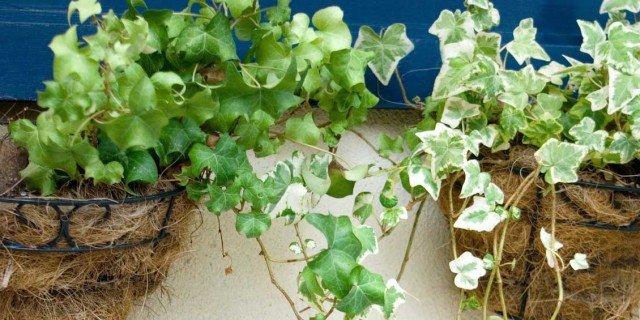 Piante ricadenti per sfruttare l altezza cose di casa for Piante ricadenti perenni