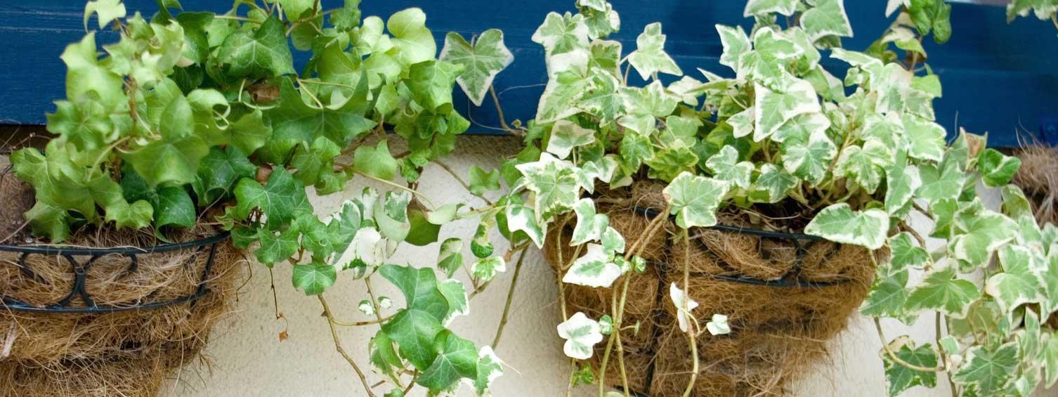 Piante ricadenti per sfruttare l altezza cose di casa for Case ricoperte di edera