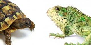 tartaruga e iguana