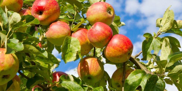 Piantare i meli adesso per raccogliere da agosto a ottobre