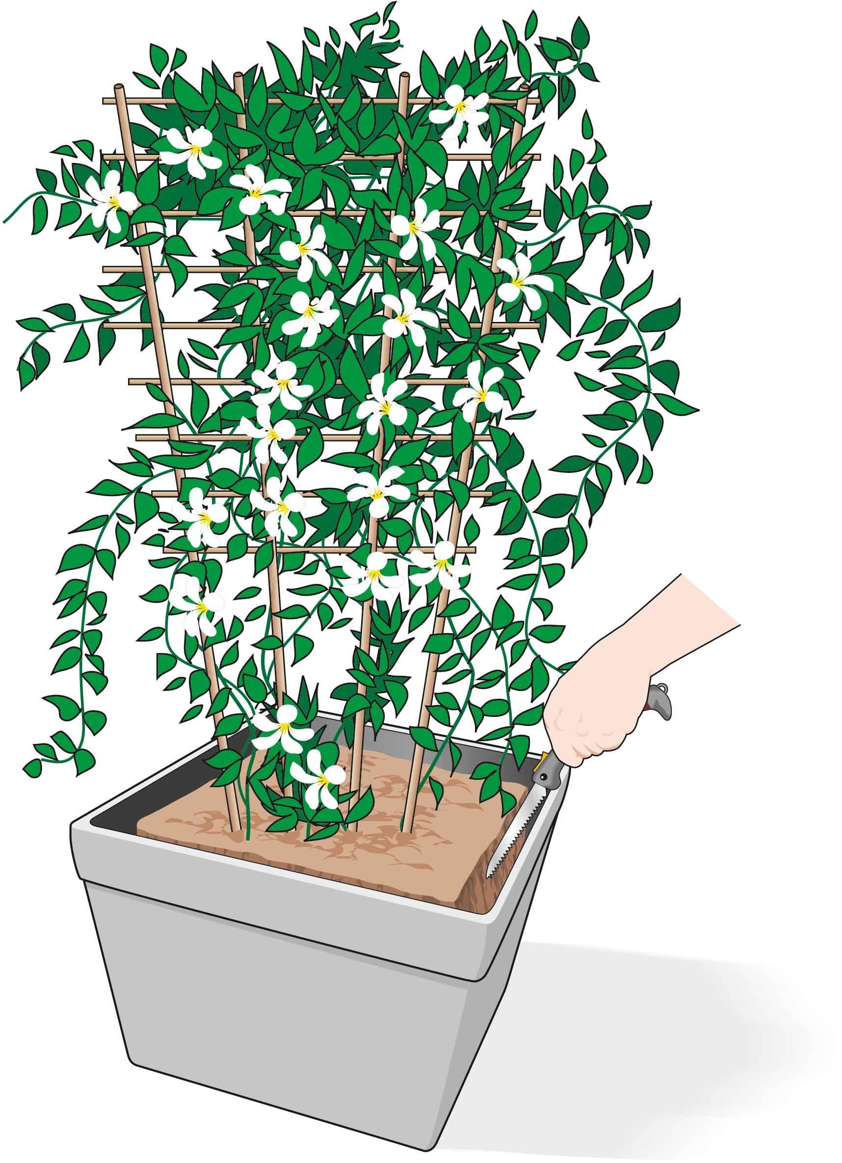 Rampicanti Adatti In Vaso rinnovare il terriccio nel vaso del gelsomino - cose di casa