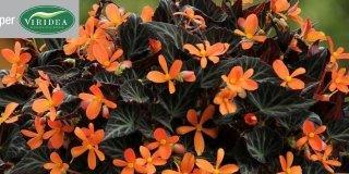 viridea begonie arancioni