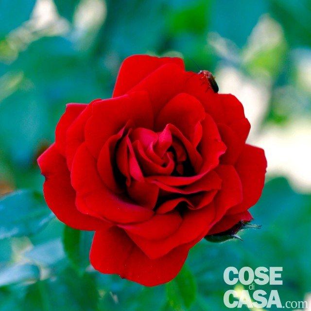 Rosa-Amadeus