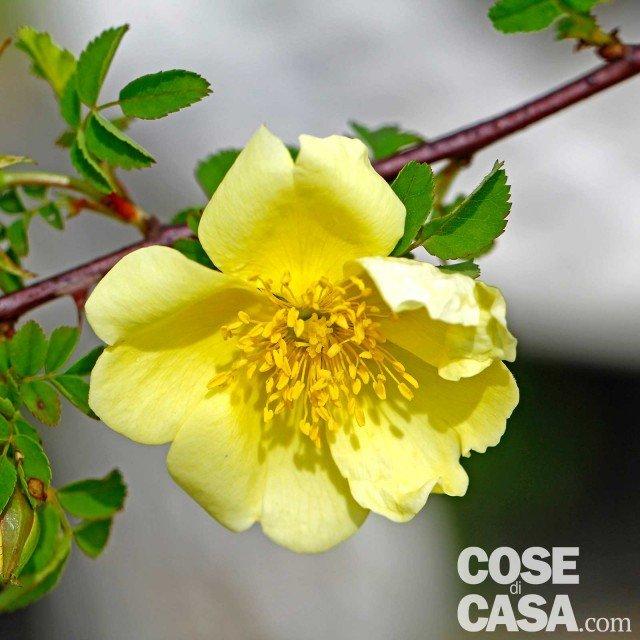 Rosa-Canary-bird