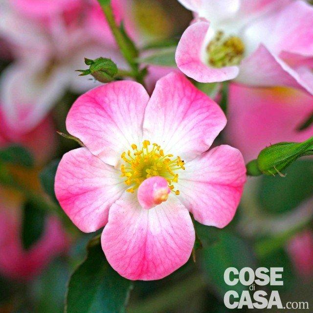 Rosa-Cumbaya