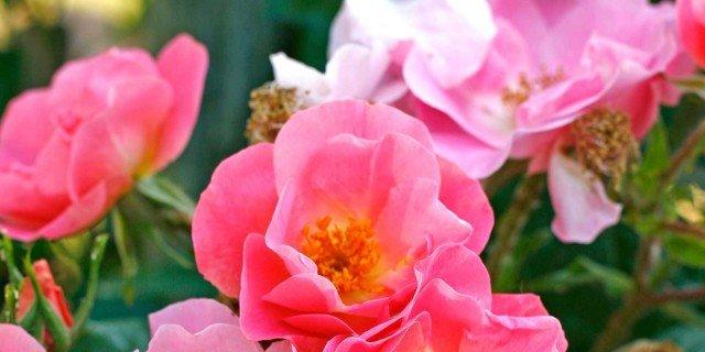 Nove rose bellissime