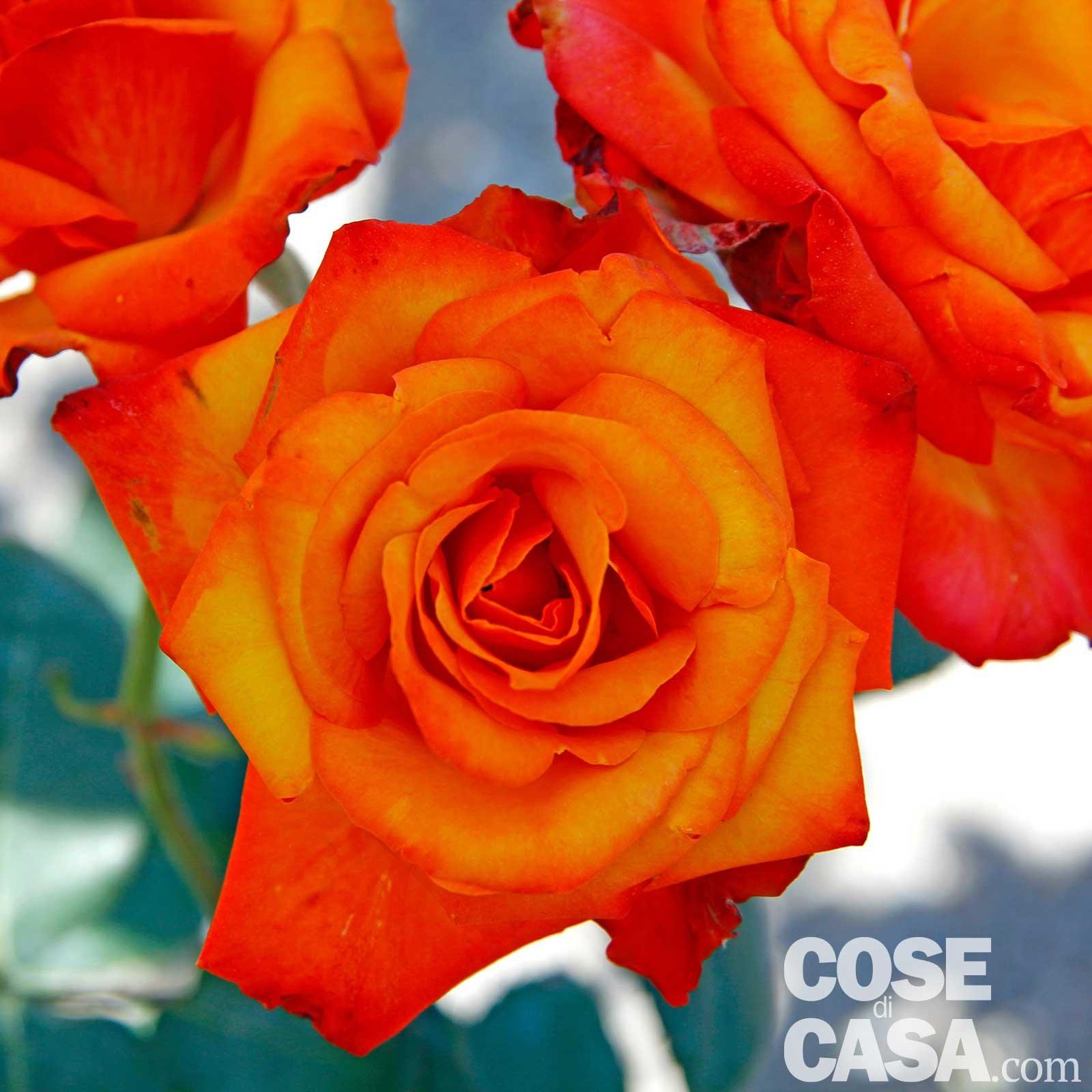 Rose Da Taglio Rifiorenti nove rose bellissime: elenco specie e descrizione - cose di casa