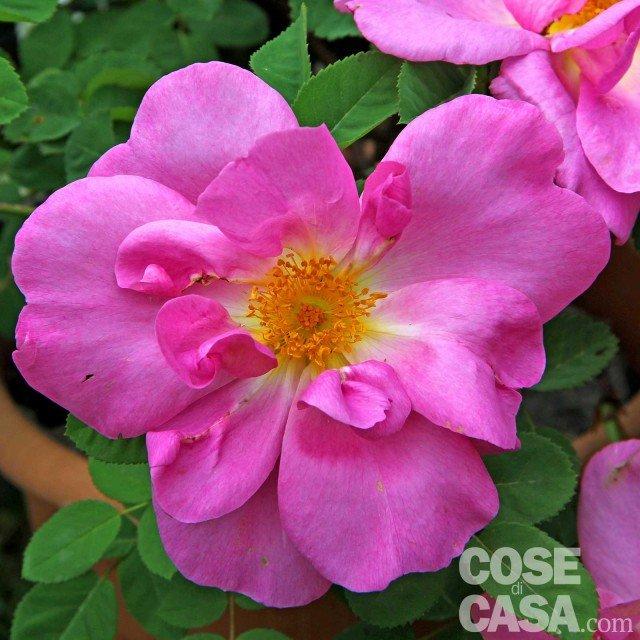 Rosa-rugosa-Pussy