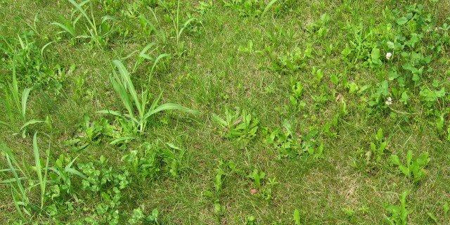 Compo erbicida selettivo erba a foglia larga per tappeti for Diserbante per prato