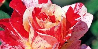 Rose: le cure di maggio
