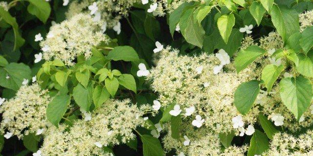 Ortensie Rampicanti Vendita : Hydrangea petiolaris cose di casa