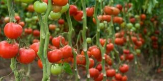 piante pomodori estate