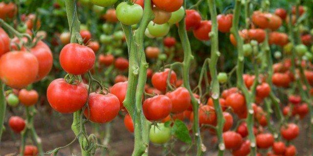 Le cure estive ai pomodori