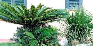 Una palma in giardino: sì o no?