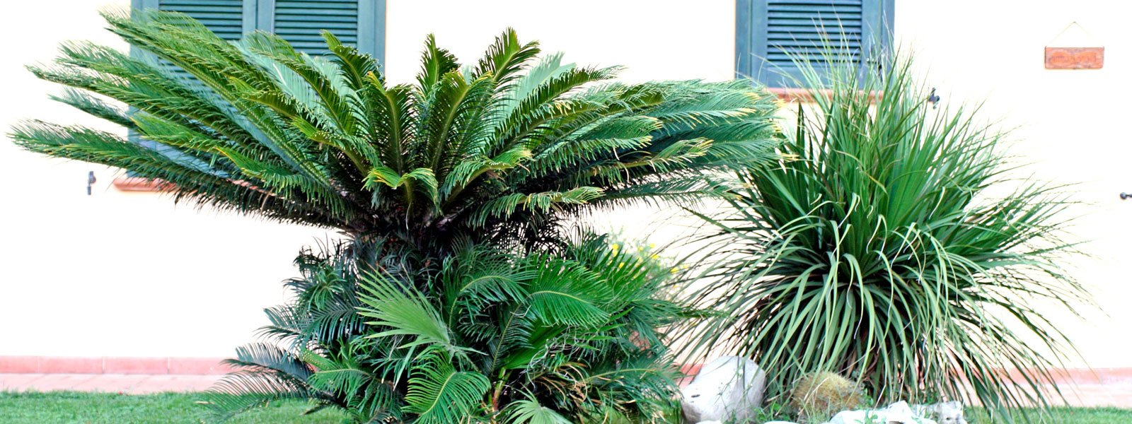 Una palma in giardino s o no cose di casa - Radici palma ...