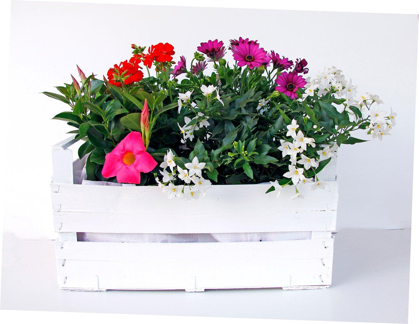 abbastanza La cassetta fiorita: solanum, dipladenia, dimorfoteca, geranio PH53